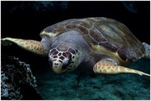 Protecting loggerhead sea turtles